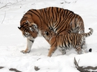 World's wild tiger count rising