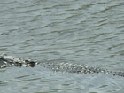 Alligators found eating human corpse in Florida
