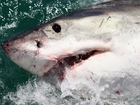 Why South Africa's great whites are disappearing