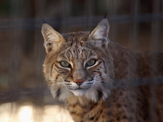 Protecting your home and pets from bobcats