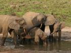 Poachers are killing vulnerable forest elephants