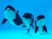 Study finds array of bacteria when orcas exhale