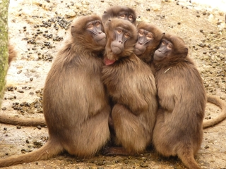 Scientists are helping to stop thieving baboons