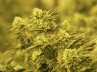 Cannabis chemical could help kids with epilepsy