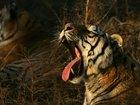 China reinstates ban on using tiger, rhino parts